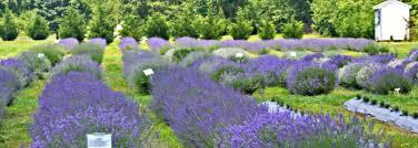 7 health benefits of lavender