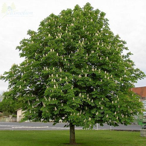 Aesculus hippocastanum - Horse Chestnut