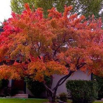 Acer tataricum ginnala - Amur Maple