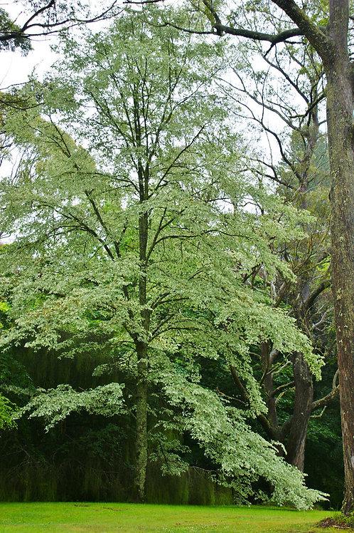 Ulmus variegata - Silver Elm