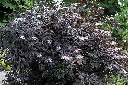 Sambucus nigra ' Black Lace'