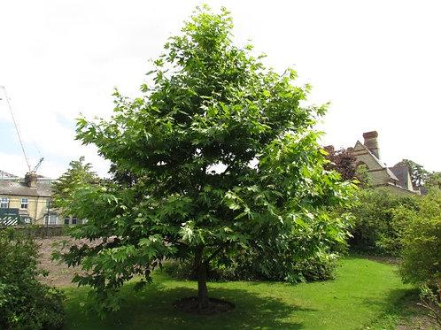 Platanus orientalis - Oriental Plane Tree