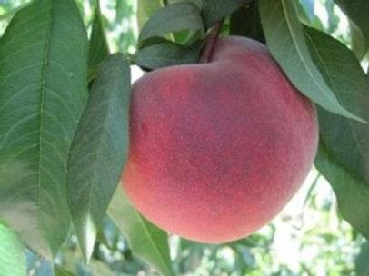 Prunus persica - 'O Henry' Peach