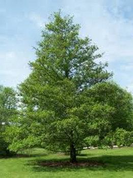 Alnus glutinosa - Black Alder