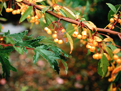 Malus transitoria Golden Raindrops