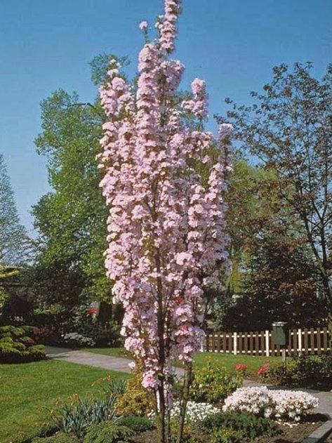 Prunus serrulata ' Amanogawa'