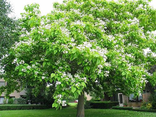 Catalpa bignonioides - Indian Bean Tree