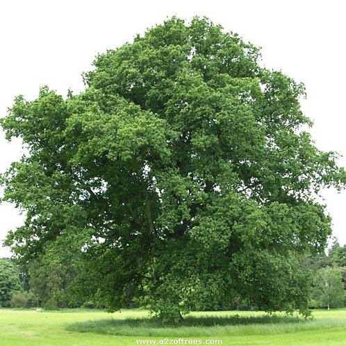 Quercus robur - English Oak