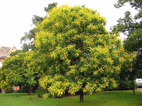 Koelreuteria paniculata - Golden Rain Tree