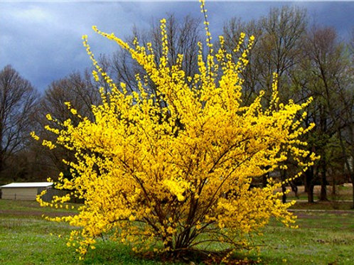 Forsythia x intermedia - Lynwood Gold
