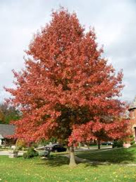 Quercus pallustris - Pin Oak