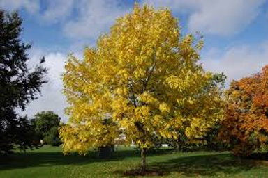Fraxinus pennsylvanica - Red Ash