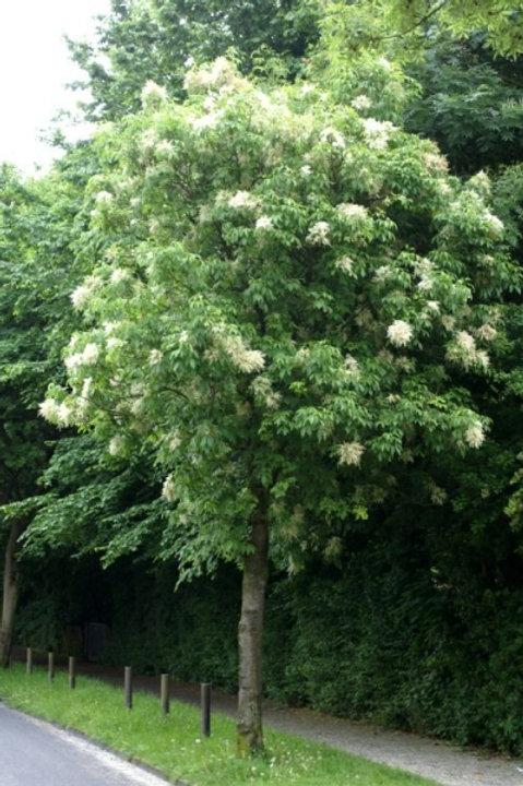 Fraxinus ornus - Flowering Ash