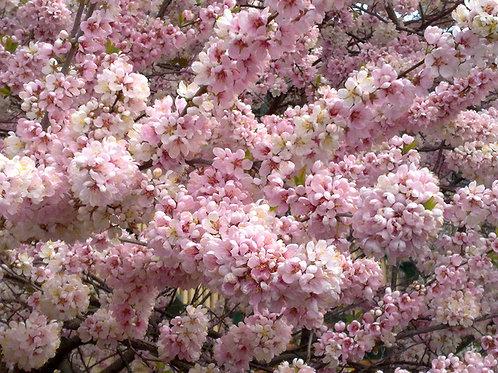 Prunus elvins