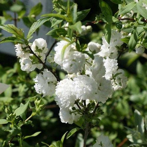 Prunus sinensis alba