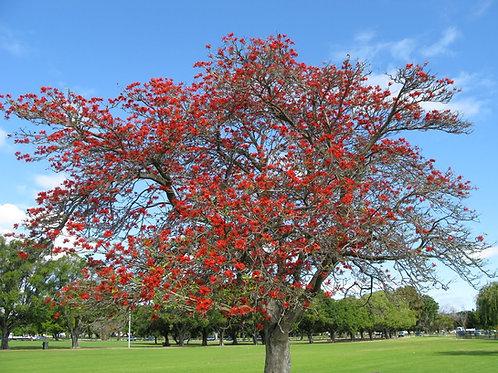 Erythrina sykesii - Coral Tree