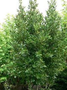 Laurus nobilis - BayTree