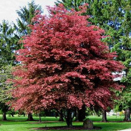 Fagus sylvatica Purpurea - Copper Beech
