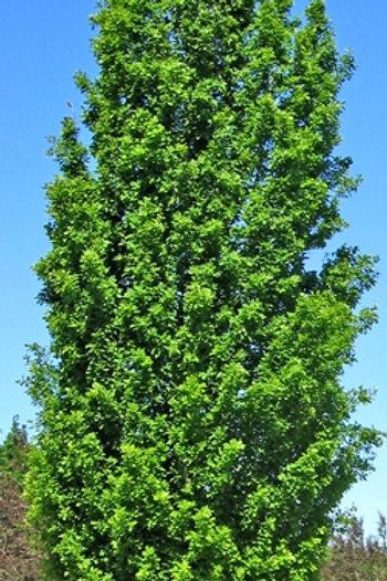 Quercus robur 'Fastigiata' - Cypress Oak