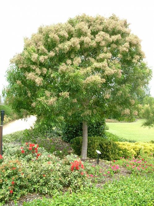 Fraxinus griffithi - Evergreen Ash