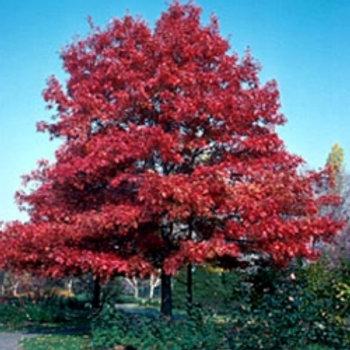 Quercus coccinea - Scarlet Oak