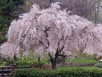 Prunus subhirtella alba
