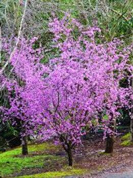 Prunus blirenna