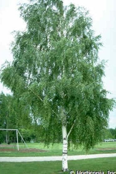 Betula pendula (syn. Alba)