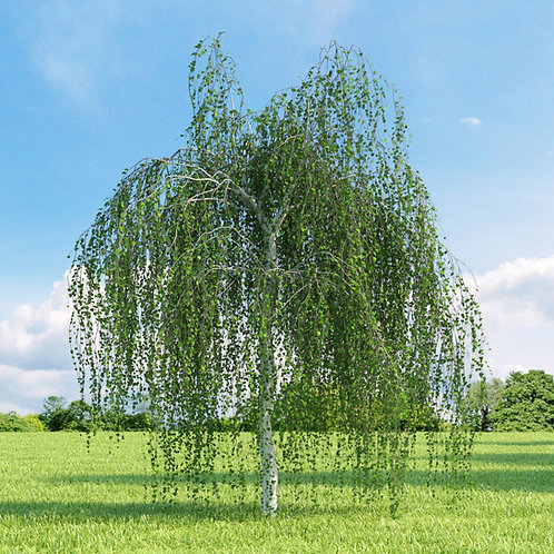 Betula youngii