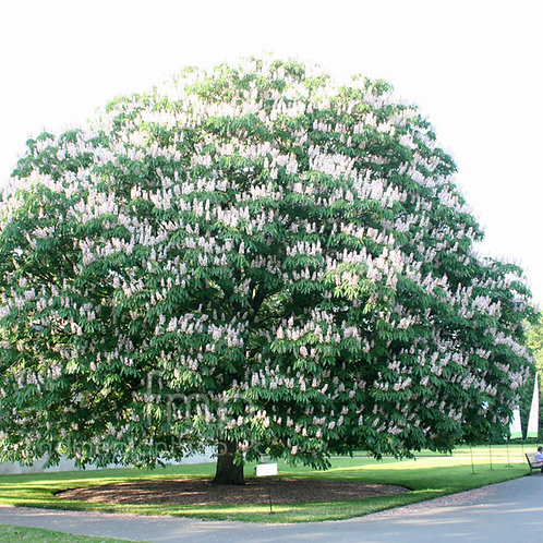 Aesculus indica - Indian Horse Chestnut