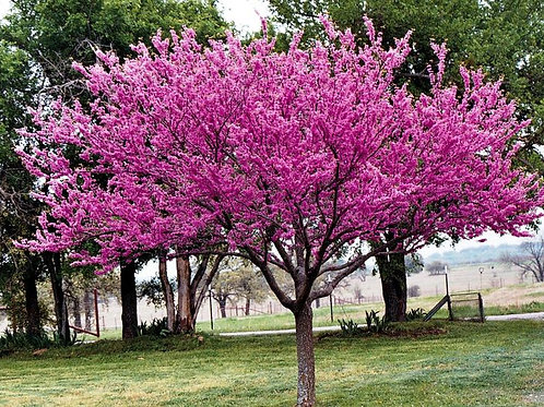 Cercis canadensis - Forest Pansy