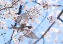 野鳥 ヒヨドリ①