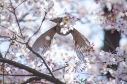 野鳥 ヒヨドリ②