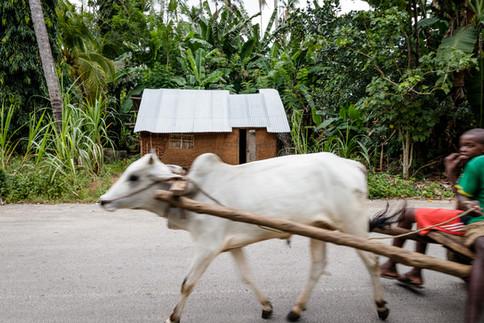 Zanzibar Cow - Print