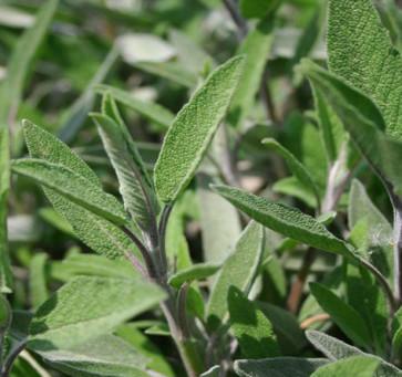 Aproximación a la Salvia