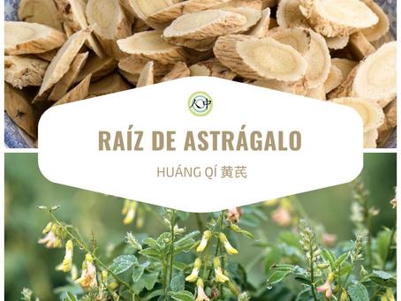 Raíz de Astrágalo – Huáng Qí 黄芪