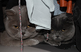 Percy and Winnie Lilac and Blue British Shorthairs