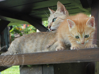 Sri Lanka: Meow Meow & Tiger Cat