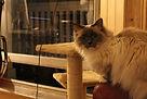 Holland Park exclusive cat boarding Notting Hill West London, Kensington cat boarding, Maida Vale cat boarding, West London