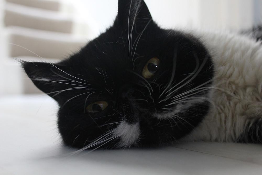 Bibi Notting Hill Cat Company