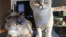 Melody the Persian and Bambi the Scottish Fold
