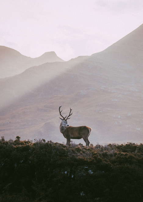 Assynt Red Deer