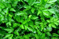 Itallian parsley