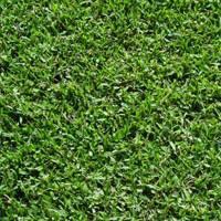 grass rolls turf rolls lawn Male Sterile Kikuyu