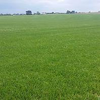 Grass supplies Kikuyu Tall Fescue Santa Ana Couch