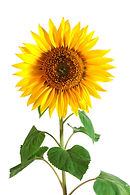 sunflower-helianthus-annuus.jpg