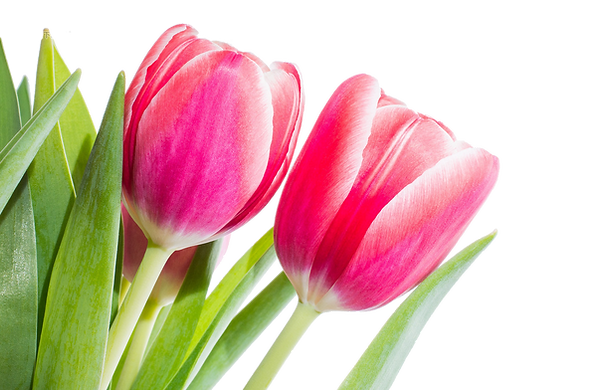 kisspng-flower-tulip-red-stock-xchng-spr
