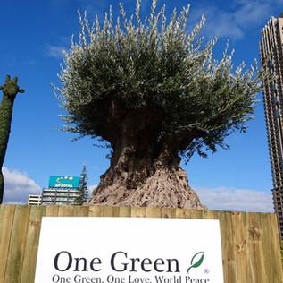 樹齢約1000年オリーブ うめきた2期暫定利用事業
