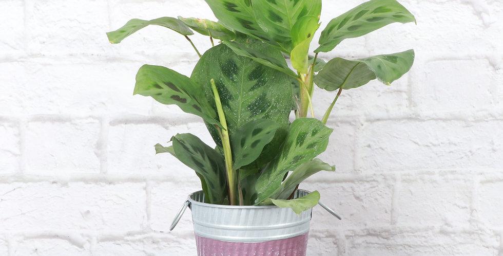 Green Prayer Plant, Purple Stripe Fall Pot