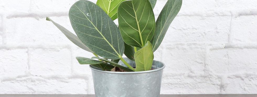 Ficus Benghalensis, Ficus Audrey in Galvanized Steel Pot
